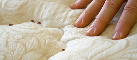 Chinches de cama c mo detectarlas y eliminarlas decorar hogar - Como saber si tengo pulgas en casa ...