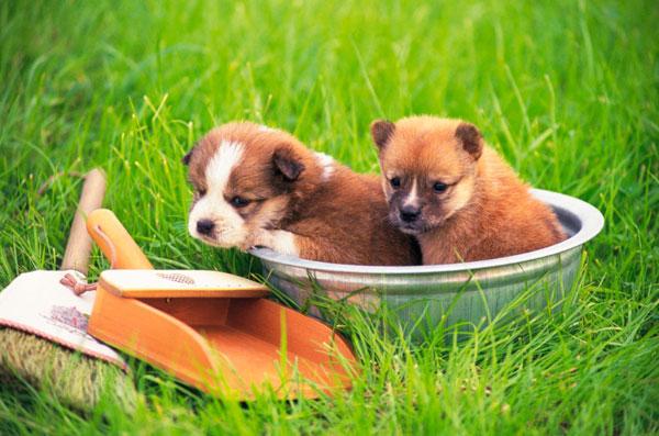 razas-perros-pequenos-02
