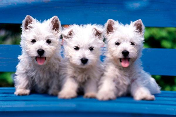 razas-perros-pequenos-03