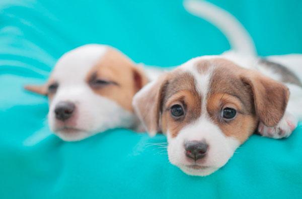 razas-perros-pequenos-04