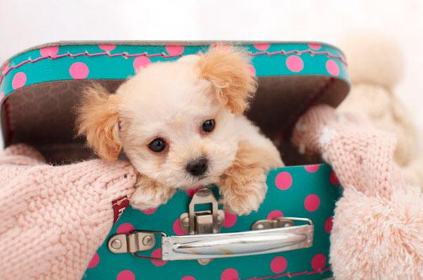 razas-perros-pequenos-05