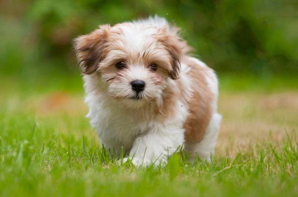 razas-perros-pequenos-06