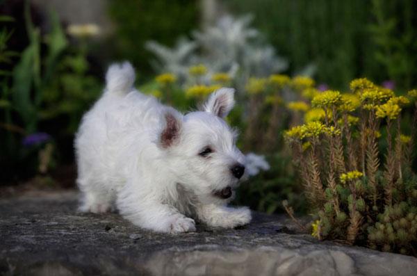 razas-perros-pequenos-08