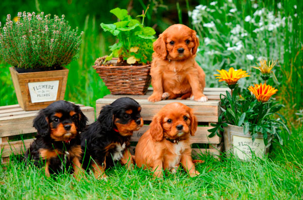 razas-perros-pequenos-11