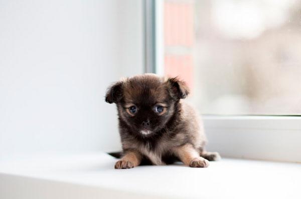 razas-perros-pequenos-12