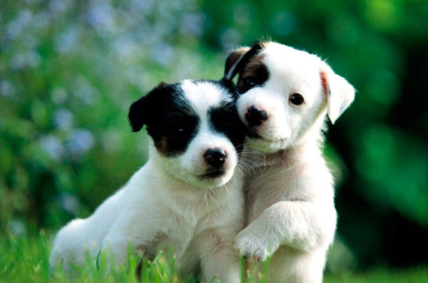 razas-perros-pequenos-14