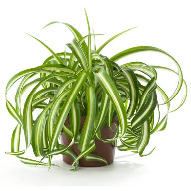 Cinta plantas purificadoras de aire