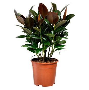 Ficus elástica planta purificadora para casa y oficina
