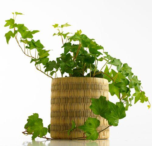 Hiedra inglesa planta purificadora de aire