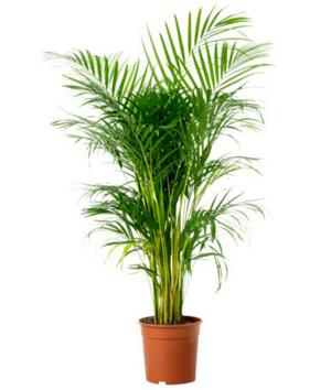 Palmera de bambú limpiadora de ambientes