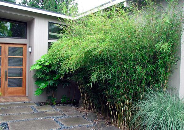 Bambú Umbrella o Fargesia para el jardín