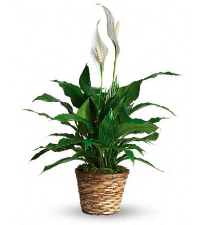 Plantas purificadoras de las toxinas del aire Espatifilo