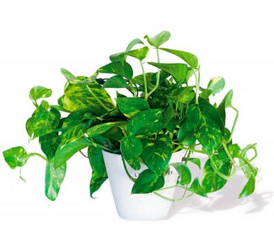 Potus planta limpiadora de toxinas del ambiente